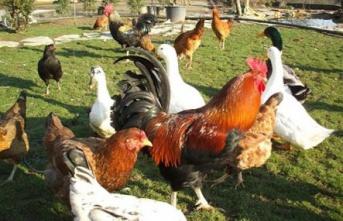 Edirne Ziraat Odası, kümes hayvanları satacak