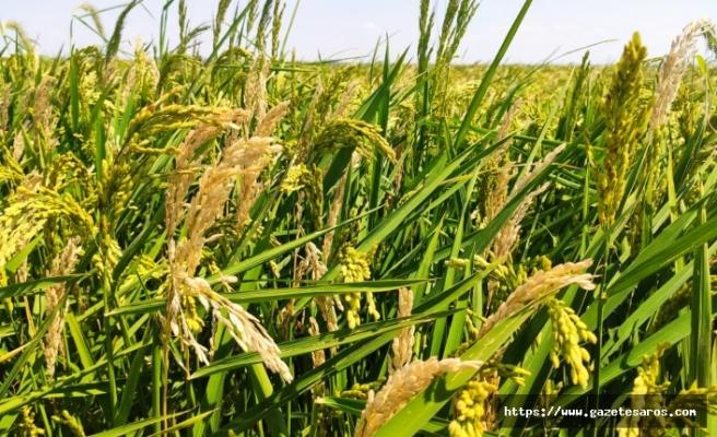 Çeltik tarlalarını dolu vurdu, çiftçiler mağdur oldu