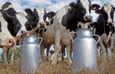 Paşayiğitli süt üreticileri, mağdur mu oluyor ?