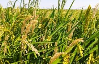 Çeltik tarlalarını dolu vurdu, çiftçiler mağdur...