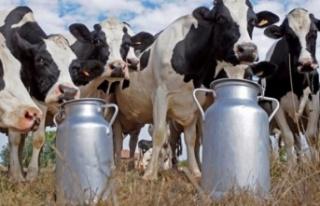 Paşayiğitli süt üreticileri, mağdur mu oluyor...